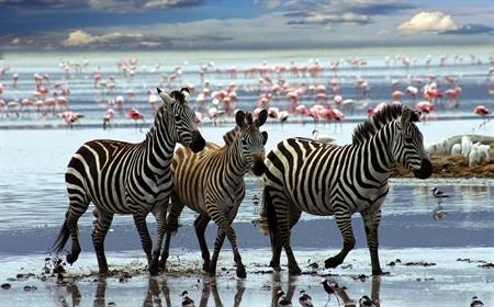 1000pc Play NOW! Jigsaw Puzzle - Zebras